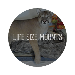 Live Size Mounts